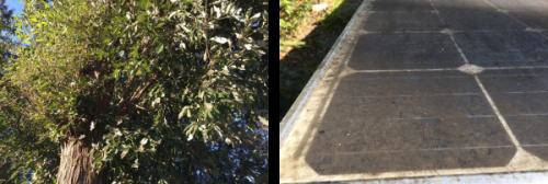 樹脂を発散していると推測されるコナラの木